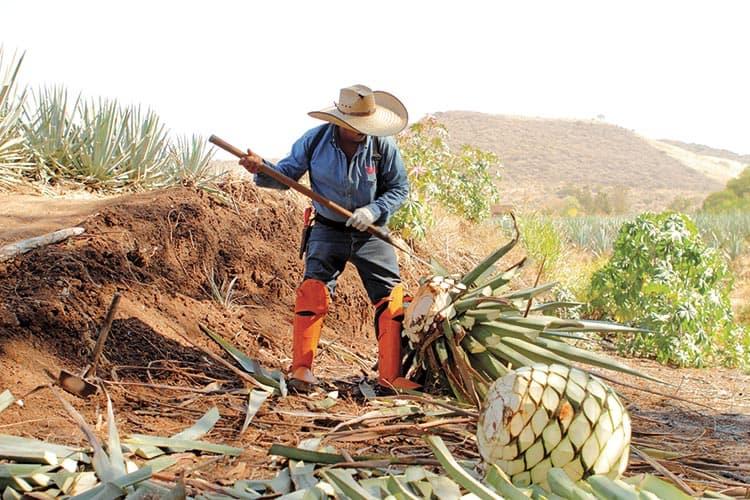 Tequila Don Julio Atotonilco el Alto, agave