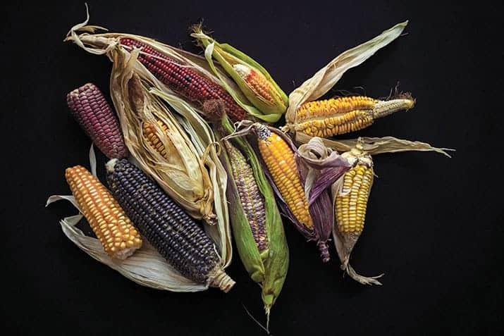 Molino el Pujol, maiz