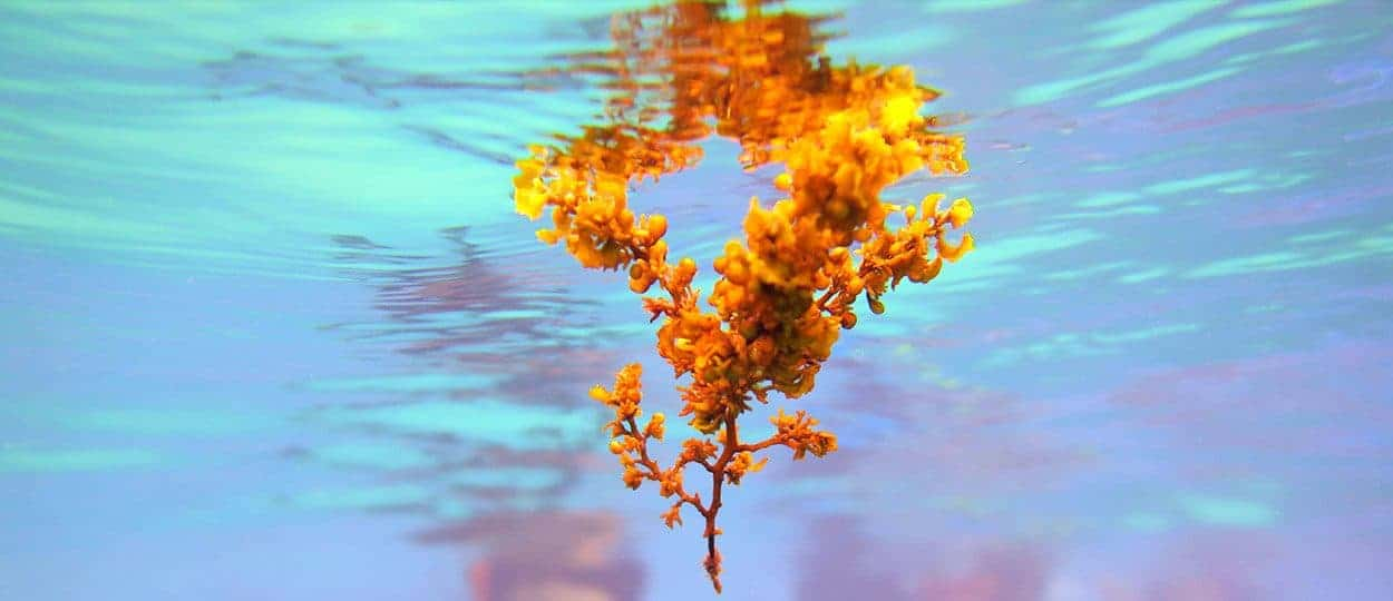 Sargassum floating in the sea thanks to the aerocysts.
