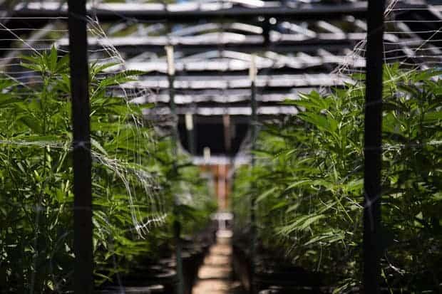 Regulación del comercio de marihuana, int2