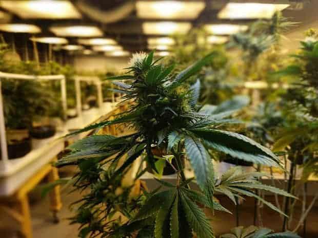 Regulación del comercio de marihuana, int1