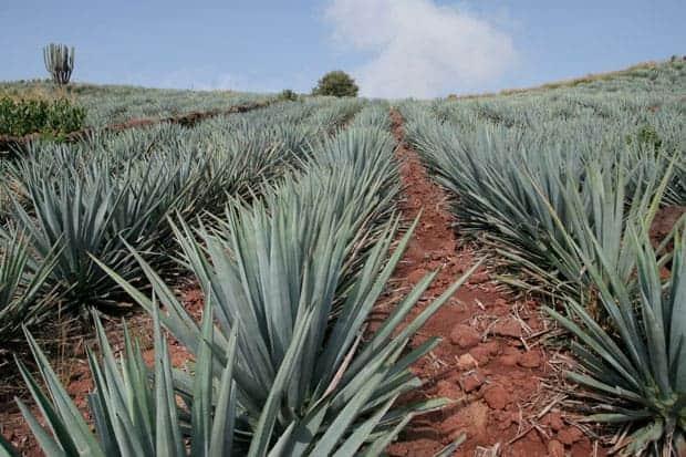 Día Nacional del Tequila agave