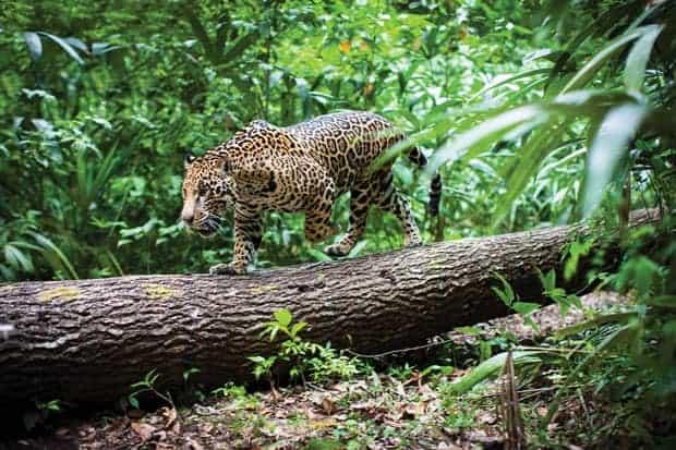 Jaguar especie en peligro de extinción