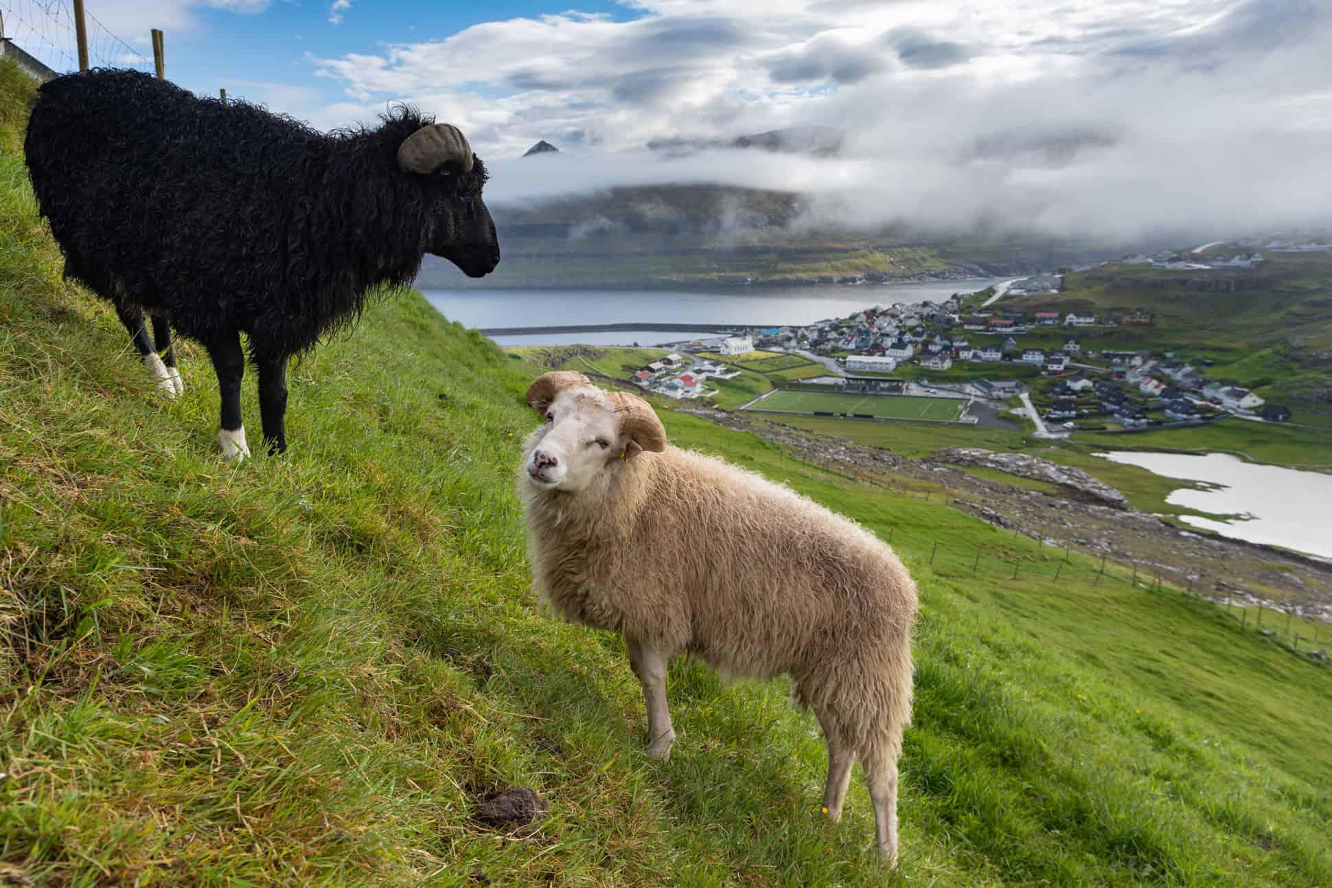 islas feroe ovejas