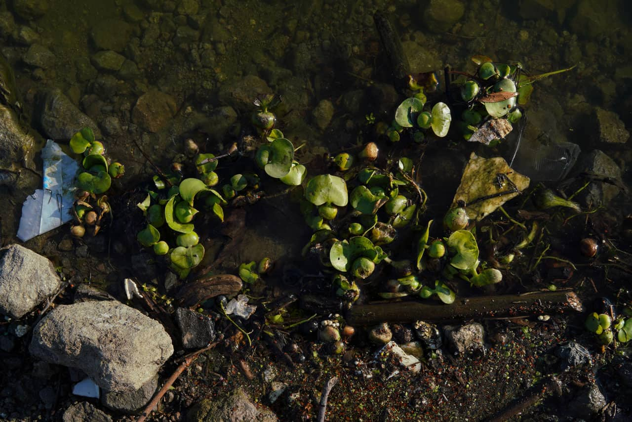lirio y contaminacion en la presa madin