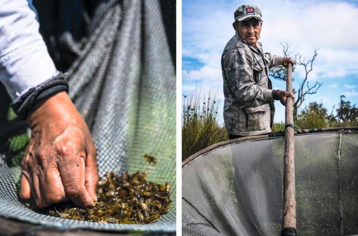 Para pescar acociles, Alejandro Bolaños utiliza una enorme red con la que captura a estos pequeños crustáceos, que suelen comerse en la región rellenos de queso.