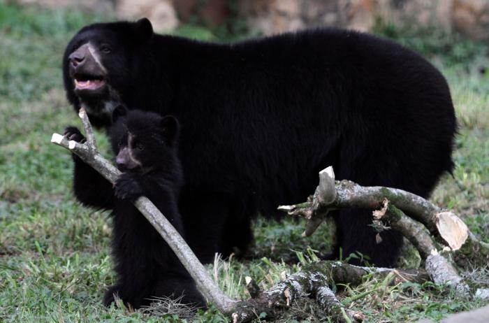 Los proyectos de minería de AngloGold Ashanti ponen en peligro de extinción al oso de anteojos, característico de Colombia.