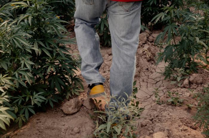 México legalizó, con limitaciones, el consumo de una de las sustancias que sus militares han buscado erradicar por un siglo: el cannabis.