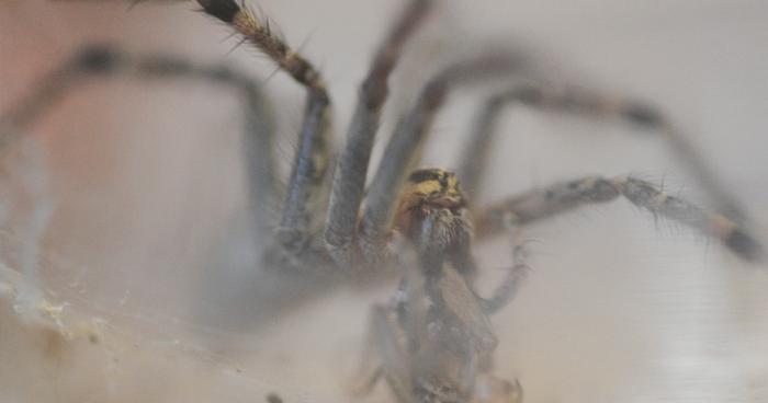 Una araña y su telaraña en un frasco en la casa de la doctora Susan Riechert, en Powell, Tennessee.